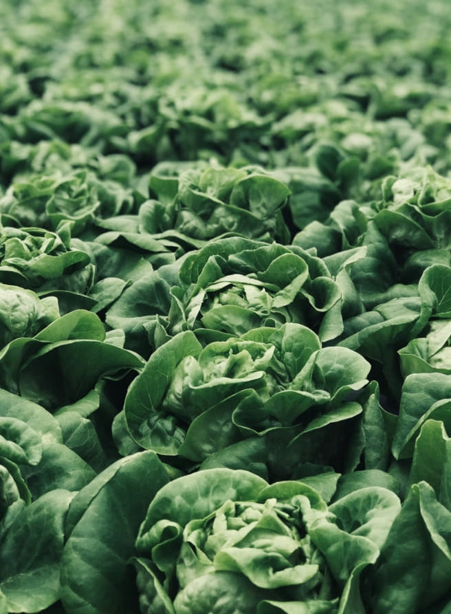 Sunde grønne salathoveder i rækker på en mark