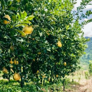 Mange citrontræer i solskin